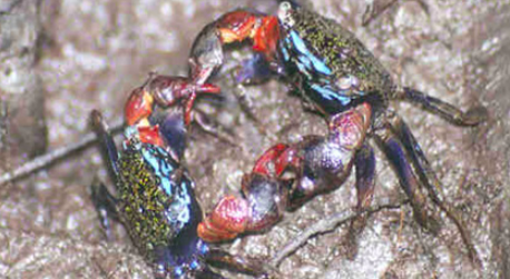 Grapsoid crab harvesting is important to the local economy and is managed under the PNCFG (UNDP, 2012)