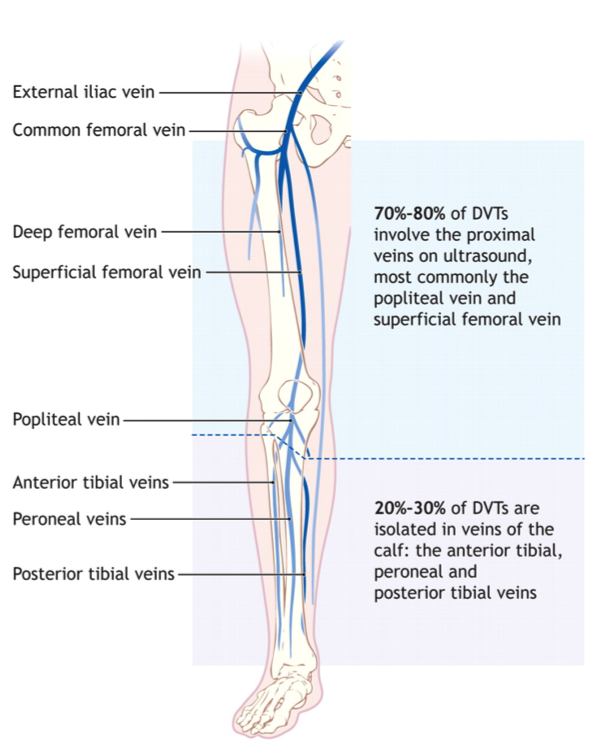deep veins of the lower extremity