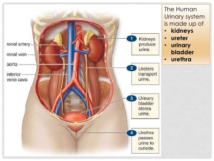 Male urinary system anatomy