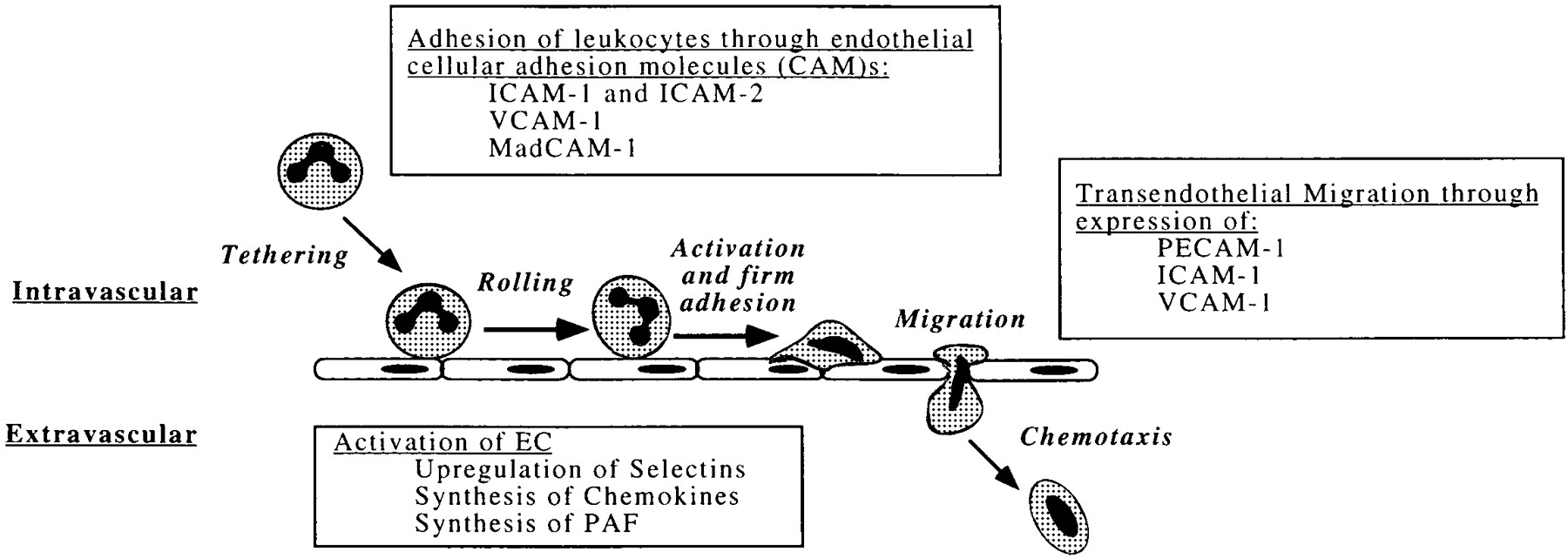 Coursepath417 Case 4 Group 1 Final Ubc Wiki Where Can I Find A Diagram Of White Blood Cell Tutorvista Answers Interaction Leukocytes With The Endothelium
