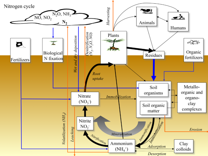 nitrogen fixation converts nitrogen gas to