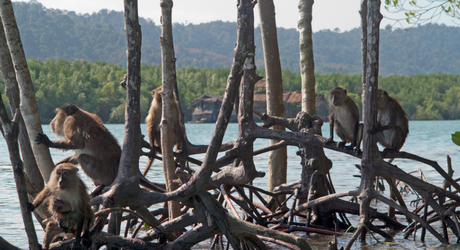 Crab-eating macaques returned to the mangroves post-restoration (Peter Prokosch, 2015)