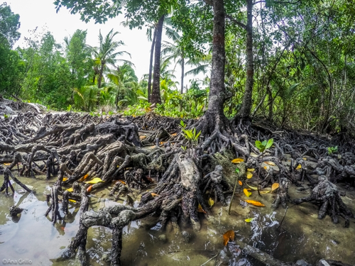 Mangroves host a wide variety of marine and terrestrial species and play a large role in nutrient cycling (Ana Grillo, 2017)